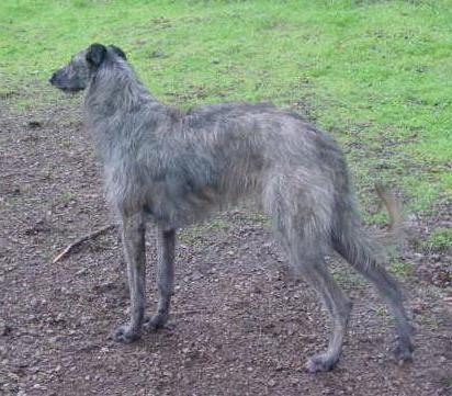 Photo of Bran, a Scottish Deerhound was became infected with heartworms