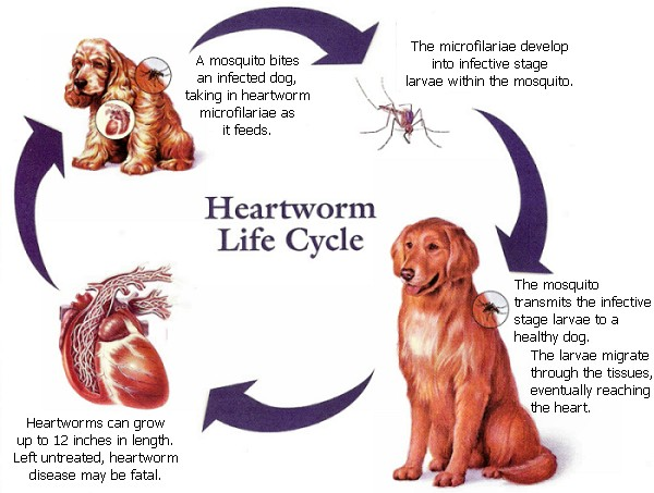 Image of heartworm life cycle