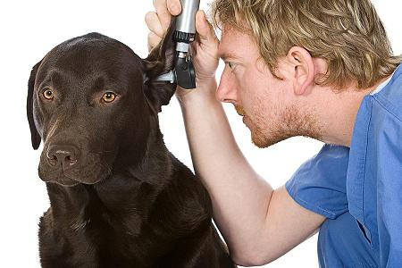Photo of vet checking dog's ears