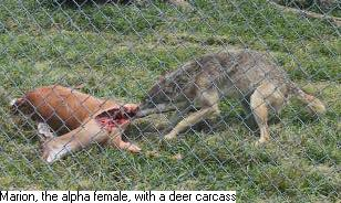 Photo of wolf Marion eating deer carcass