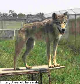 Photo of wolf Tristan